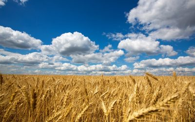 Gold field of wheat against blue sky